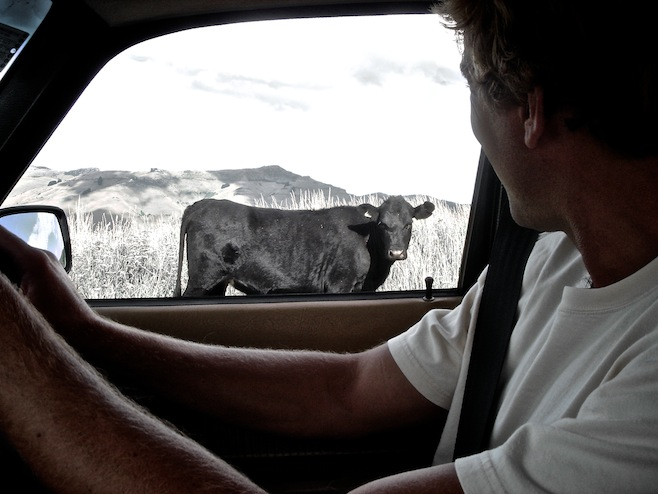Runaway Cows
