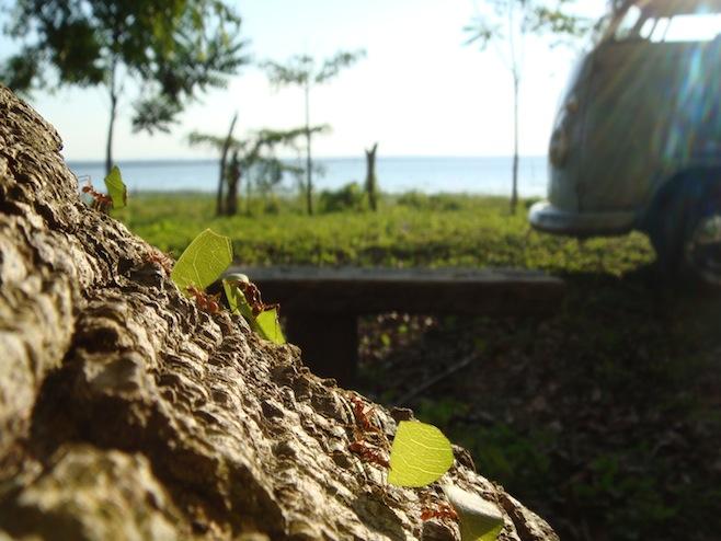 GUA El Remate Ants